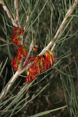 APII jpeg image of Calothamnus gracilis  © contact APII
