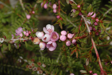 APII jpeg image of Thryptomene saxicola 'Pink Lace'  © contact APII