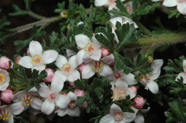 APII jpeg image of Boronia anemonifolia  © contact APII