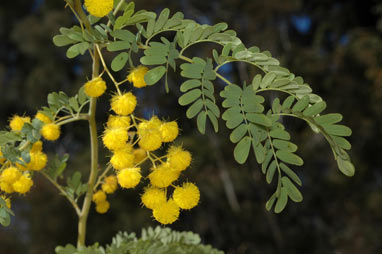 APII jpeg image of Acacia spectabilis  © contact APII