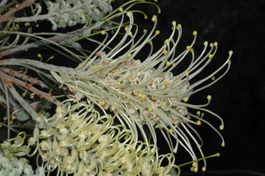 APII jpeg image of Grevillea 'Moonlight'  © contact APII
