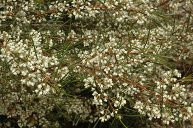 APII jpeg image of Logania albiflora  © contact APII