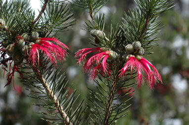APII jpeg image of Calothamnus rupestris  © contact APII