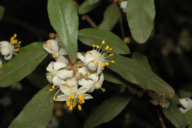 APII jpeg image of Asterolasia correifolia  © contact APII