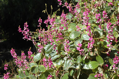 APII jpeg image of Kennedia retrorsa  © contact APII