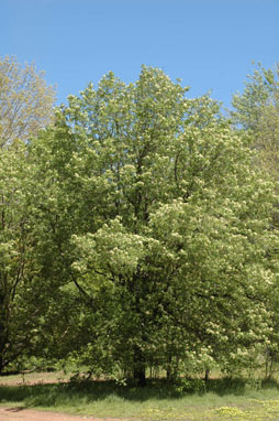 APII jpeg image of Sorbus domestica  © contact APII