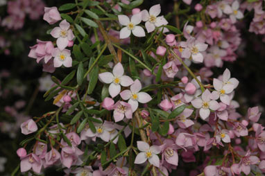 APII jpeg image of Boronia 'Tyalge Ruby'  © contact APII