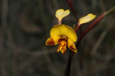 APII jpeg image of Diuris semilunulata  © contact APII