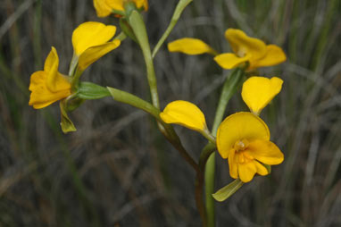 APII jpeg image of Diuris aequalis  © contact APII