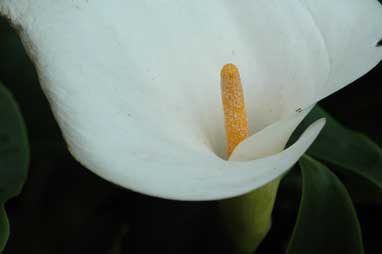 APII jpeg image of Zantedeschia aethiopica  © contact APII