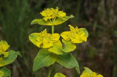 APII jpeg image of Euphorbia oblongata  © contact APII