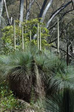 APII jpeg image of Xanthorrhoea glauca  © contact APII