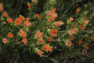 APII jpeg image of Eremaea pauciflora  © contact APII