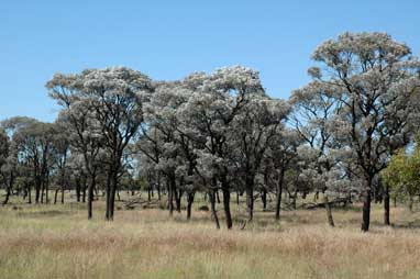 APII jpeg image of Acacia harpophylla  © contact APII