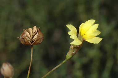 APII jpeg image of Goodenia fascicularis  © contact APII