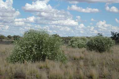 APII jpeg image of Eremophila polyclada  © contact APII