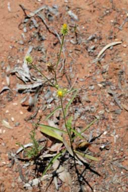 APII jpeg image of Picris squarrosa  © contact APII