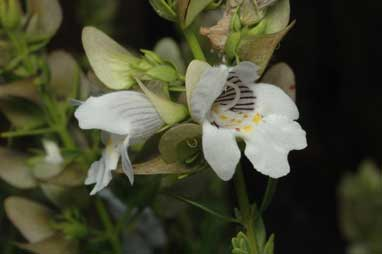 APII jpeg image of Prostanthera striatiflora  © contact APII