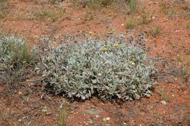 APII jpeg image of Anemocarpa podolepidium  © contact APII