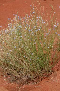 APII jpeg image of Wahlenbergia communis  © contact APII