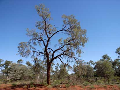 APII jpeg image of Acacia excelsa  © contact APII
