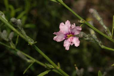 APII jpeg image of Dampiera lanceolata  © contact APII