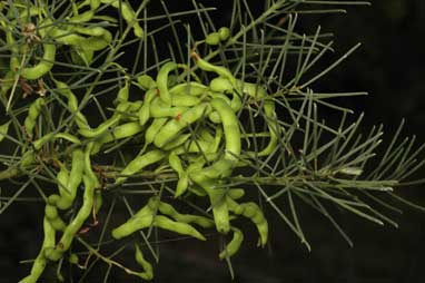 APII jpeg image of Acacia nematophylla  © contact APII