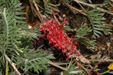 APII jpeg image of Grevillea 'Pick of the Crop'  © contact APII