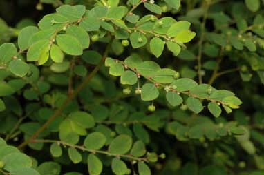 APII jpeg image of Phyllanthus tenellus  © contact APII