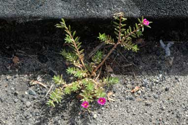 APII jpeg image of Portulaca pilosa  © contact APII