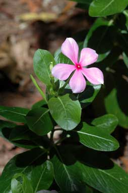 APII jpeg image of Catharanthus roseus  © contact APII