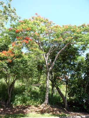 APII jpeg image of Delonix regia  © contact APII