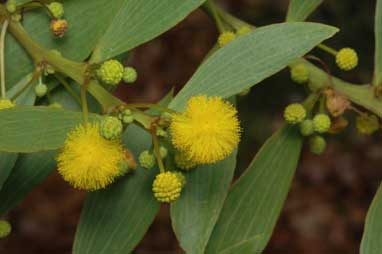 APII jpeg image of Acacia complanata  © contact APII