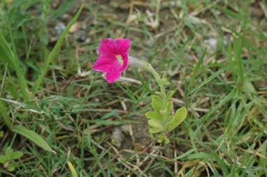 APII jpeg image of Petunia x hybrida  © contact APII