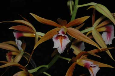 APII jpeg image of Phaius tancarvilliae  © contact APII