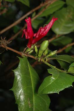 APII jpeg image of Graptophyllum ilicifolium  © contact APII
