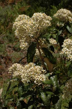 APII jpeg image of Olearia covenyi  © contact APII