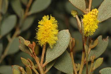 APII jpeg image of Acacia craspedocarpa  © contact APII