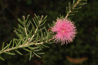 APII jpeg image of Melaleuca pentagona  © contact APII