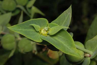 APII jpeg image of Euphorbia lathyris  © contact APII