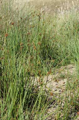 APII jpeg image of Juncus phaeanthus  © contact APII