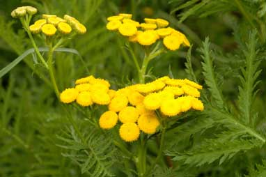 APII jpeg image of Tanacetum vulgare  © contact APII