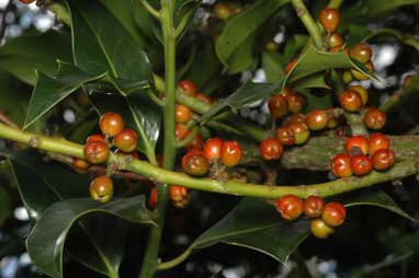 APII jpeg image of Ilex aquifolium  © contact APII