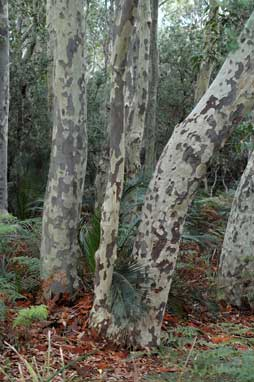 APII jpeg image of Corymbia maculata  © contact APII