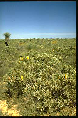 APII jpeg image of Banksia attenuata  © contact APII