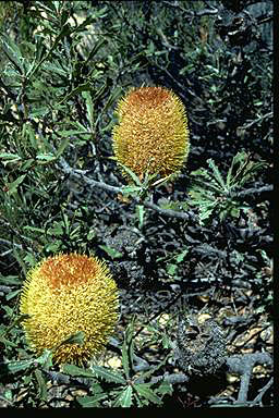 APII jpeg image of Banksia audax  © contact APII
