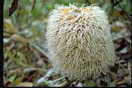 Banksia baueri - click for larger image