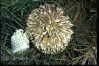 APII jpeg image of Banksia lanata  © contact APII