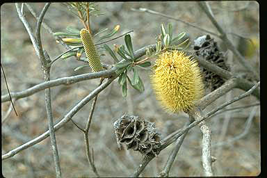 APII jpeg image of Banksia marginata  © contact APII