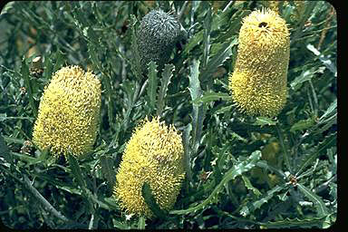 APII jpeg image of Banksia pilostylis  © contact APII